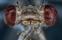 Damselfly (ravila4) Tags: macro eye damselfly focusstack