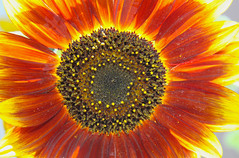 The Sun Ablaze (Sunflower) (Life_After_Death - Shannon Day) Tags: life flowers red orange sun flower detail macro art floral yellow canon garden botanical fire photography eos death gold petals soft day glow gardening petal shannon sunflower after glowing wildflowers dslr delicate botany wildflower canondslr canoneos heavenly ablaze intricate lifeafterdeath afire 50d shannonday canoneos50d canon50d canon50ddslr canon50deos canoneos50ddslr canoneod50ddslr canondsler lifeafterdeathstudios lifeafterdeathphotography shannondayphotography shannondaylifeafterdeath