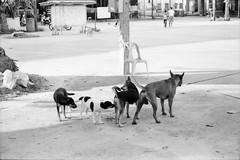 *DOG SMELL DOG. (Sakulchai Sikitikul) Tags: street leica dog film thailand 50mm trix ernst streetphotography snap summicron songkhla ttl m6 hatyai 085 collapsible