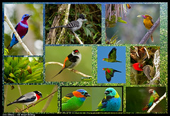 Amazing birds of the Atlantic Forest