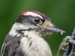 Do You Mind - I Am Trying To Eat (Diane Marshman) Tags: red summer white black male nature birds closeup canon woodpecker head pennsylvania eating wildlife small feathers feeder spot powershot pa northeast downy suet sx50