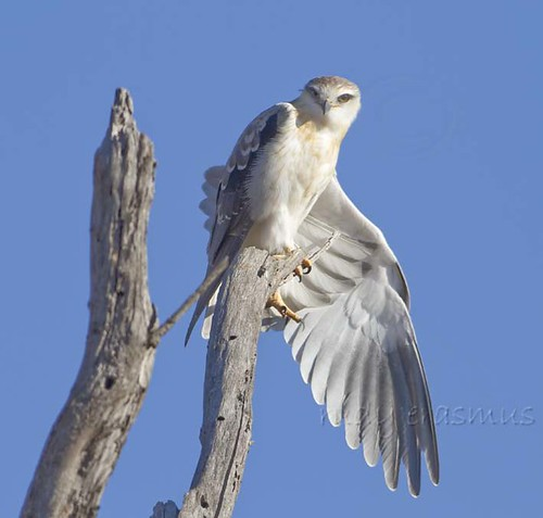 Black-shouldered Kite , sub adult wing stretching_1388