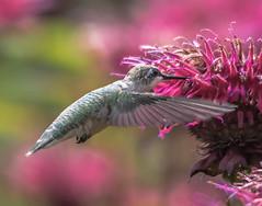 Chicago Botanic Garden 11 (Jan Crites) Tags: flowers bird nature garden botanical illinois nikon hummingbird glencoe chicagobotanicgarden d600 sensorygarden jancritesphotography