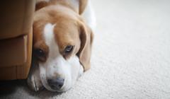 Alf (James Andrew West) Tags: dog beagle photo 85mm panasonic alfie gh4 15t rokinon