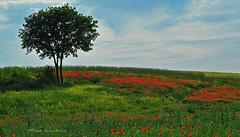 Quelques  coquelicots (Hélène Quintaine) Tags: nature fleur jaune rouge vert ciel campagne arbre champ coquelicots