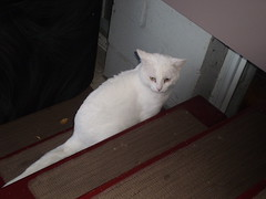 Mystic (universalcatfanatic) Tags: cats white green eye window stairs cat dark carpet eyes stair sitting maroon steps basement case couch step staircase sit mystic