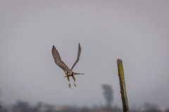 Going away (VPMPhoto) Tags: chile santiago wild sky bird nature animal de flying wildlife sony aves sp ave universidad di animales tamron slt usd a77 rm 70300 antumapu