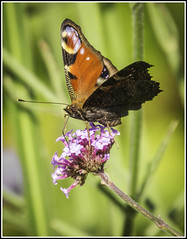 Peacock Butterfly (bakermike123) Tags: flowers wales july vale homeandgarden 2014 aberthin
