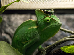 fly on my head (Darcy.McGrath) Tags: funny veiled chameleon