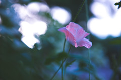 little lost (Claire Fischbach) Tags: pink blue light flower green night dawn interesting movement twilight nikon soft bokeh dusk hour poppy lovely nikkor matte lightroom 2470mm d610 twilighthour