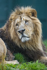 Asiatic lion looking at the side (Tambako the Jaguar) Tags: ireland wild portrait dublin face grass cat zoo big nikon looking emotion lion lying asiatic d4