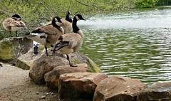 Wildlife. (@Jenny@) Tags: sanfrancisco goldengatepark trees lake water geese rocks