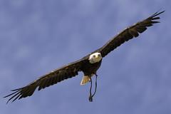 CFR0157 Soaring (Carlos F1) Tags: life parque wild bird animal spain nikon natural eagle blanca raptor vida cabeza pajaro cantabria falconry aguila rapaz d300 cabárceno salvaje cetreria pigargo