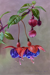 Fuchsia Plant (Lindaw9) Tags: red summer plant ontario flower green leaves purple fuchsia northern