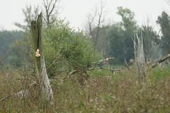 DSC06419 (Ton Smilde) Tags: oostvaardersplassen naturereserveinthenetherlands