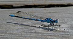 blue encounter (upsa-daisy) Tags: