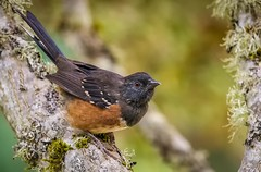 Towhee ~ Explored (dave dube') Tags: bird oregon explore pacificnorthwest frontpage pnw towhee birdcloseup