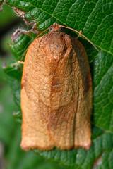 Carnation tortrix (Cacoecimorpha pronubana) (Ian Redding) Tags: uk fauna insect wildlife moth british invertebrate