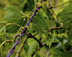 tangled vine and barbwire (Doug Craigmile) Tags: green rusty vine barbwire gripping