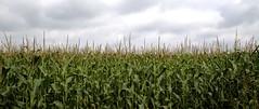 Day 228: Corn Field (08/16/14) (DavidWells254) Tags: field minnesota clouds canon corn farm farming rochester agriculture mn 6d 24105mm