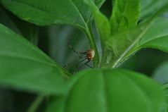 * (Vinylone AFS + NO trades) Tags: nature animal animals bug backyard arachnid bugs arachnids arthropods animalia arthropoda macroshot daddylonglegs arachnida arthropod harvestman harvestmen opiliones aardpeer dromopoda