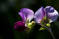 Blumen__035 (emartrebe) Tags: erbse sommerblumen