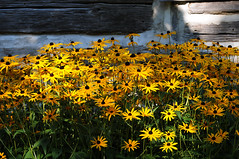 Black Eyed Susan's (Poocher7) Tags: flowers fall logcabin yellowflowers blackeyedsusan historicalbuilding barnboard waterlooschoolhouse