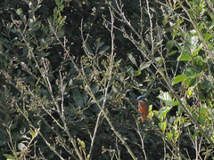 le fuyard (laetitiablabla) Tags: france tree bird nature animal photography fantastic martin come normandie pecheur normandy arbre mont oiseau espace manche avian sensible naturel