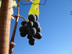 Grapes (MarkDoliner) Tags: vines grapes grape