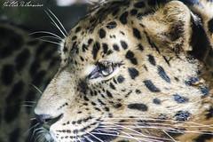 Leopardo dell'Amur (Mattia Petrosino) Tags: parco nature animal leopardo feline natura leopard felino animali panthera pardus novara orientalis faunistico