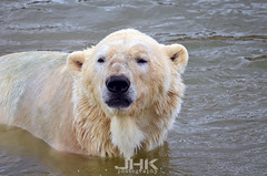 doncaster wildlife park (james keats) Tags: bear park wildlife yorkshire tiger cheeky leopard lemur polar southyorkshire squirrelmonkey amurleopard nikond7000 doncasterwildlifepark victorthepolarbear