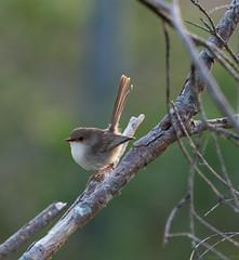 female fairy wren (scepdoll) Tags: birdwatching sydneyolympicpark