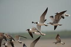 Laughing gulls (Leucophaeus atricilla) (Jan Ranson) Tags: vogels suriname 2014 laughinggull commewijne atricilla leucophaeus neotropics braamspunt
