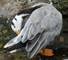 cute little thing (littlestschnauzer) Tags: summer usa white black bird birds animals gardens tampa grey florida feathers preening busch 2014