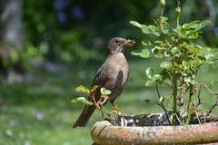 Blackbird with bugs 2 j (Barbara Evans 7) Tags: with bugs barbara hen blackbird evans7