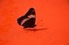 Butterfly (Joe Shlabotnik) Tags: butterfly maine 2014 faved saintdavid afsdxvrzoomnikkor18105mmf3556ged zeroviewsonefave august2014