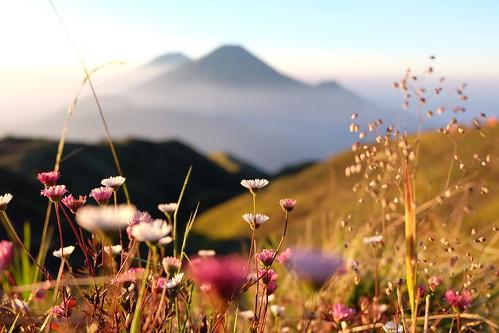 Daisy Flower, Mount Prau, Wonosobo, Jawa Tengah, Indonesia