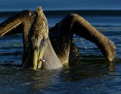 Brown Pelican with fish after successful dive (aviac) Tags: california fish bird birds feeding pelican estuary morrobay brownpelican sanluisobispocounty pelecanus pelecanusoccidentalis birdsfeeding morrobaystatepark californiabirds baysidemarina stateparkmarina