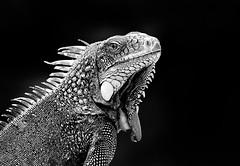 Not Amused (Robert-Jan van Lotringen) Tags: white black cold eye nature monochrome animal monster mono dragon dinosaur skin leguaan lizard arrogant iguana scales curacao lowkey antilles