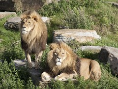 African Lions (mark_fr) Tags: bear park two one three leo african wildlife south yorkshire tiger lion pride leopard polar tigris ursus amur doncaster yorks panthera maritimus cantley pardus altaica ywp armthorpe oreintalis