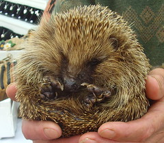 Prickly beast (Tony Worrall Foto) Tags: wild cute nature animal fun outdoors handle hand natural critter sharp cuddly beast roll prick hedgehog mammals prickly spikes hold spiny rolled subfamily erinaceinae 2014tonyworrall