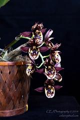 CEJ_2014-4566_2_AOSJud_20140727_IMG_0025_CEJ_W.jpg (celainej) Tags: brown white plant orchid green texture yellow burgundy gloria karen spots catasetum waxy armstrong aos betancourt 20144566