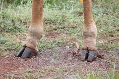 IMG_4045 (Jarod Burns) Tags: africa nationalpark kenya wildlife nairobi safari giraffe hoof nairobinationalpark