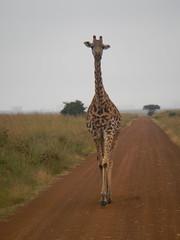 IMG_4049b (Jarod Burns) Tags: africa nationalpark kenya wildlife nairobi safari giraffe nairobinationalpark