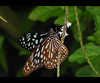 Butterfly (satheesh mankulam) Tags: blackandwhite beauty butterfly fly creature canonsx20is