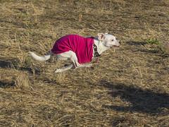 Super Okiroo (Ellen Soohoo) Tags: park dog point bay mutt olympus richmond east isabel pt