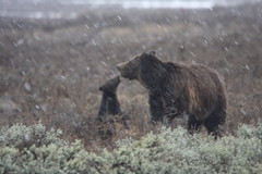 Grizzly Love in the snow (bbosica20) Tags: bear usa nature animal wildlife bears planet yellowstonenationalpark yellowstone wyoming grizzly animalplanet ynp brownbear grizzlies yellowstonewildlife