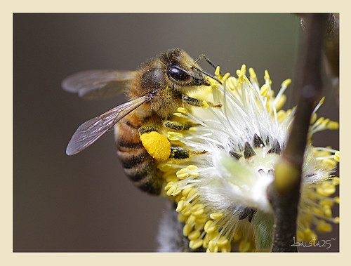 bee by basta25, on Flickr