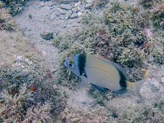 diplodus vulgaris (Wheels In Motion - Dora) Tags: wheelsinmotion wim motography traveling riding diplodus vulgaris canon g11 underwater mediterranean sea fishes spain diving scuba nature