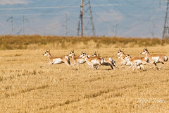 Herd of Pronghorn goes off to the races